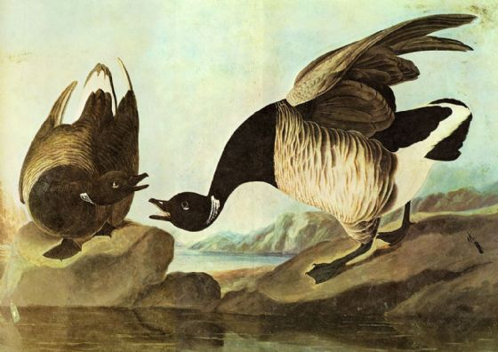 Audubon, John James: Brant. Ornithology Fine Art Print/Poster. Sizes: A4/A3/A2/A1 (001015)